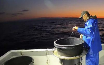 MEDITERRANEE SAUVAGE : Pêche de la Dorade Rose
